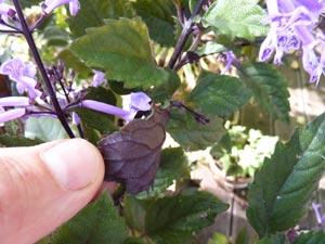 Plectranthus 'Mona Lavender' : revers du feuillage