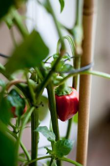 Les mini-légumes s'invitent dans nos assiettes
