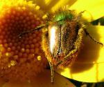 Si les insectes pollinisateurs disparaissaient...