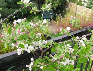 Pommier en fleurs sur le balcon
