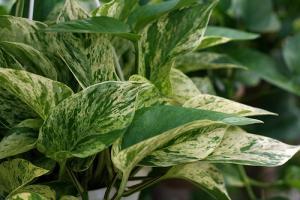L'efficacité des plantes dépolluantes reste à prouver