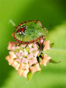 Punaise verte : ses dégâts et comment lutter en bio
