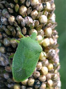 Punaise verte au jardin
