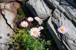 Pyrèthre de Dalmatie : de jolies fleurs blanches insecticides