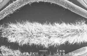Radicelles observées au microscope