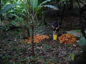 Récolte du cacao en Amérique Centrale
