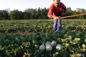 Récolte de melon de Cavaillon