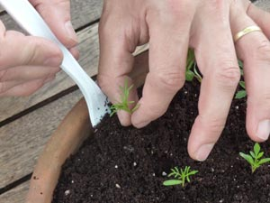 Prélèvement de plants à la fourchette