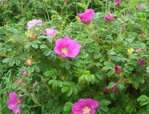 rosier rugueux rosa rugosa plantation et conseils de culture. Black Bedroom Furniture Sets. Home Design Ideas