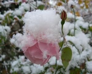 Une rose survivante sous la neige