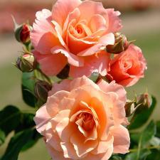 Rosier Bordure abricot® Delbard