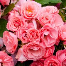 Rosier Bouquet de Mariée® Delbard