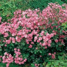 Centenaire de Lourdes Rose® Delbard