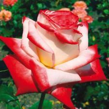 Les plus beaux roses des roseraies Delbard