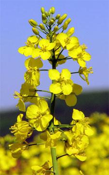 Fleur  de rutabaga (brassica napus)