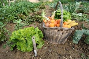 Salade et panier de légumes au potager