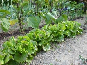 Salades, aubergines et poireaux
