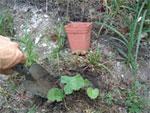 Récupérer les semis spontanés du jardin