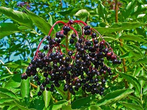 Sureau - sambucus nigra