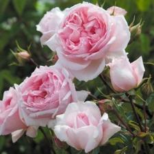 Nouveaux rosiers : les créations 2010 David Austin
