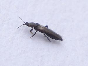 Thrips adulte