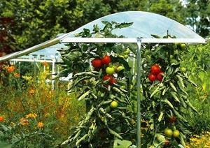Toit pour culture des tomates
