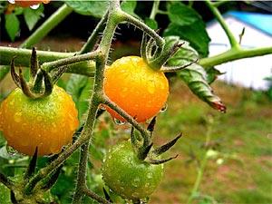 Tomates sous la pluie