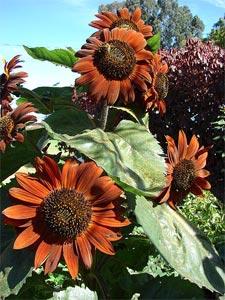 Fleurs de tournesol - variété décorative