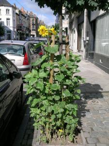 Des tournesols dans les rues de Bruxelles