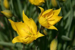 La tulipe sauvage est de retour dans les vignes bio