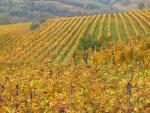 Vigne OGM : quelle utilité ?