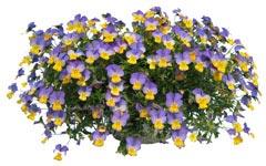 Violette rebellina bleu et jaune