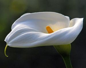 Arum : plantation, floraison, entretien
