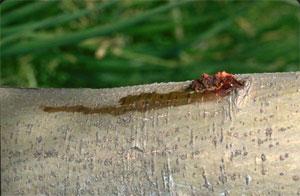Dégâts de la larve de zeuzère sur un pommier