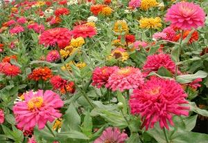Blanc crème, jaune, orange, rouge, rose, ou violet, il donne une profusion  de fleurs rondes, portées par de
