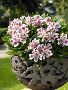 Alstroemeria Inticancha white pink blush