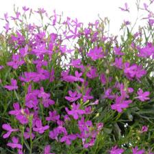 Lobelia Purple Star