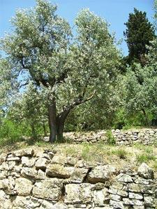 L 39 olivier et sa culture for Jardin taille olivier