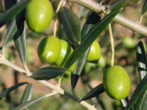 Olivier et olives