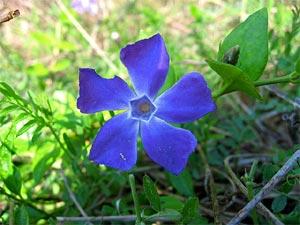 Fleur de pervenche sous un pin