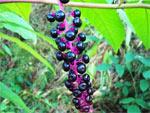Phytolacca americana ou raisin d'Amérique