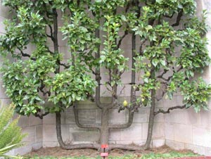 Poirier palissé contre un mur (palmette verrier)