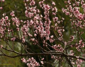 Brugnonier, nectarinier : plantation et conseils d'entretien