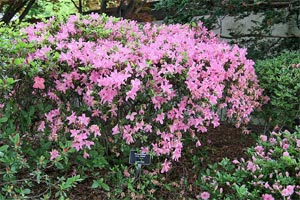 Rhododendron 'E.H. Wilson'