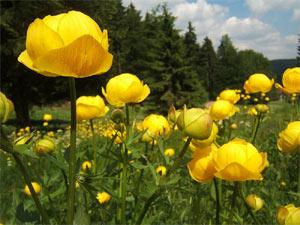 Fleurs des jardins de montagne