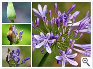 Floraison de l'agapanthe