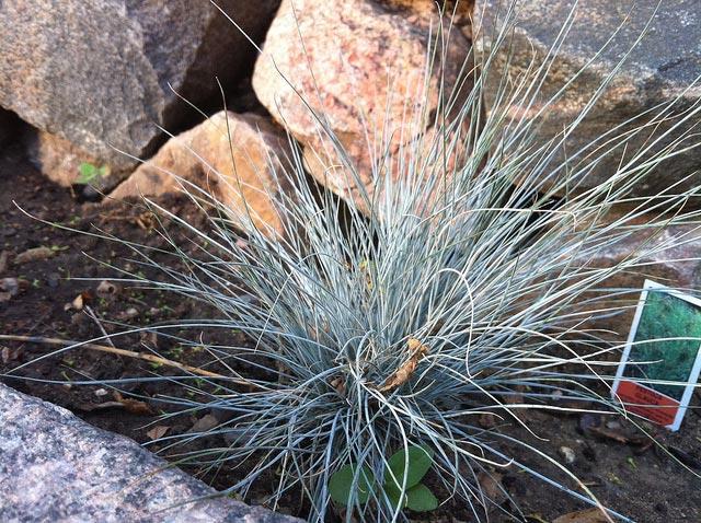 F tuque bleue for Plante decorative jardin