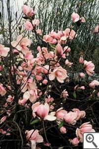 Magnolias caducs : les messagers du printemps