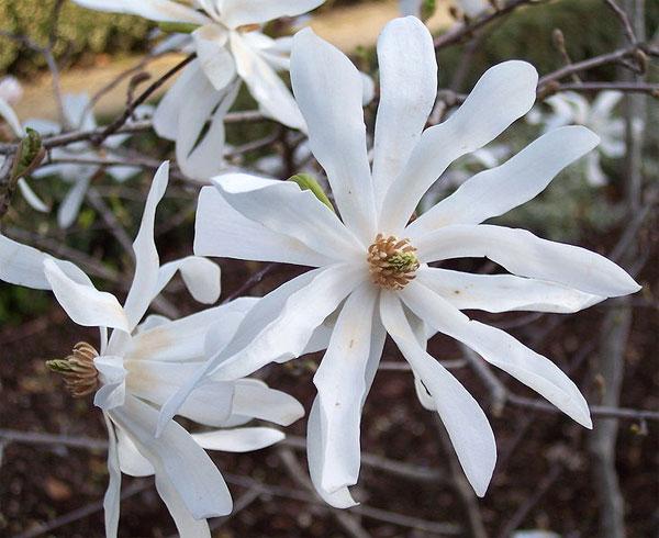 magnolia stellata le magnolia toil. Black Bedroom Furniture Sets. Home Design Ideas