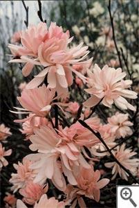 Magnolia étoilé rose